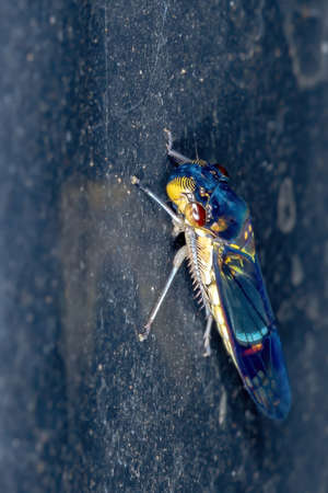 Typical Leafhopper of the Family Cicadellidae