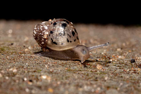 African Giant Snail of the species Lissachatina fulica 写真素材