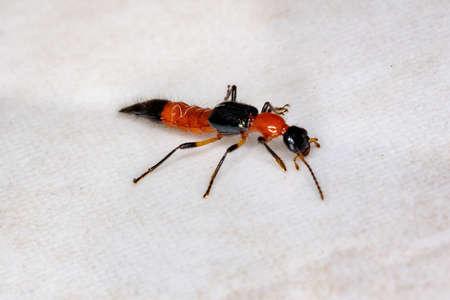 Whiplash Beetle of the Genus Paederus