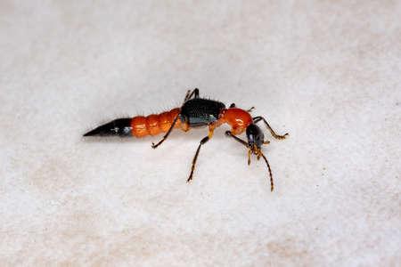 Whiplash Beetle of the Genus Paederus Reklamní fotografie