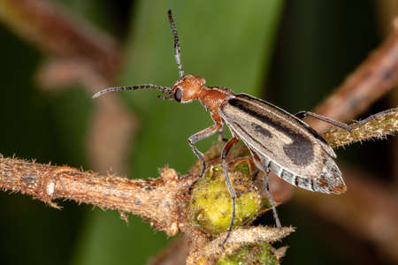 Burning Blister Beetle of the Genus Epicauta 免版税图像