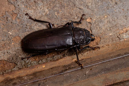 Brazilian Prionid Beetle of the species Mallodon spinibarbis