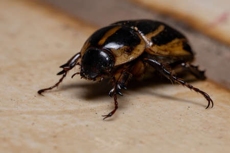 Adult Masked Chafer of the Genus Cyclocephala