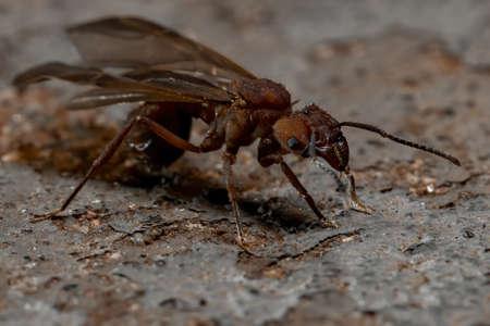 Acromyrmex Leaf-cutter Ant of the Genus Acromyrmex 版權商用圖片