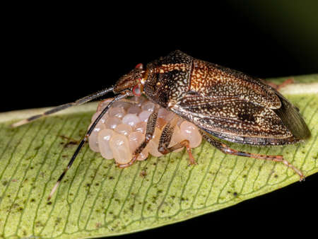brazilian Stink Bug of the genus Antiteuchus