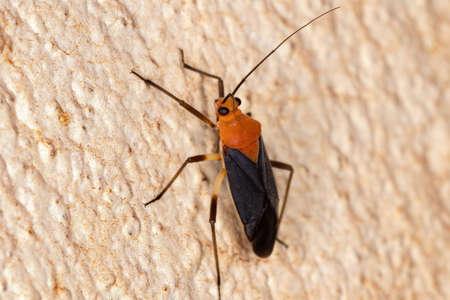 Plant Bug of the Tribe Resthenini