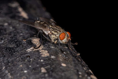 Adult Flesh Fly of the Family Sarcophagidae Zdjęcie Seryjne