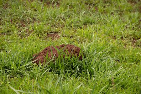 Termite Mound in a grassy field in close up