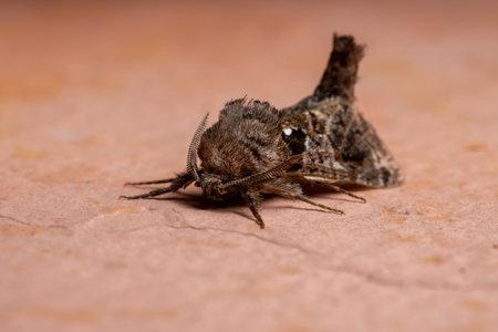 Adult Carpenter Moth of the Genus Langsdorfia