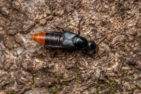 Adult Rove Beetle of the Subtribe Xanthopygina