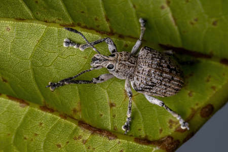 Broad-nosed Weevil of the species Cydianerus latruncularius on a green leaf