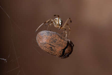 Small Brown Widow of the species Latrodectus geometricus preying on a beetle