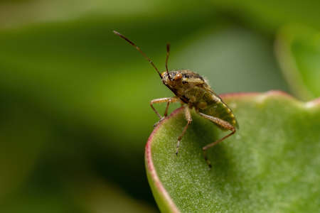 Adult Scentless Plant Bug of the Family Rhopalidae Reklamní fotografie