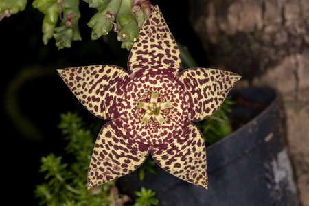 star cactus flower of the species Orbea variegata