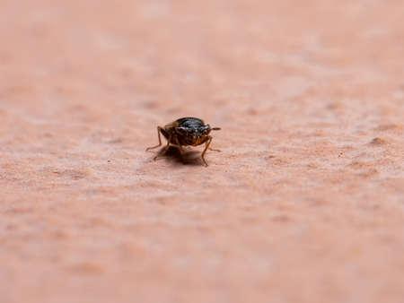 Adult Big-eyed Bug of the Family Geocoridae