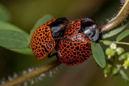 Adult Tortoise Beetles of the Genus Botanochara Reklamní fotografie
