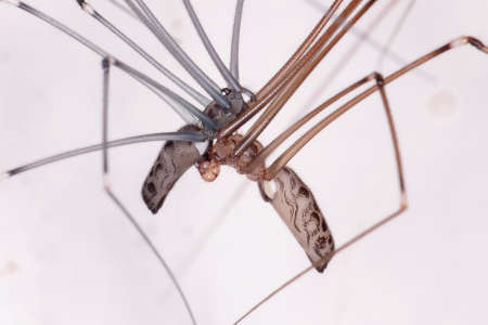 Adult Cellar Spiders of the Family Pholcidae