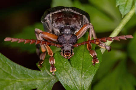 Adult Bean Weevil of the Tribe Pachymerini