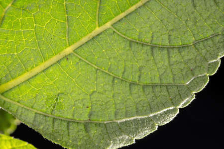 Texture of a leaf in high magnification with backlight