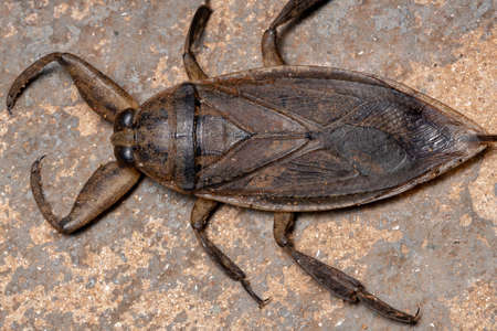 Adult Giant Water Bug of the Genus Lethocerus Stock Photo
