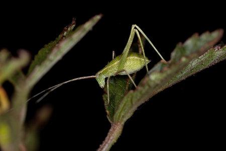 Leaf Katydid Nymph of the Subfamily Phaneropterinae