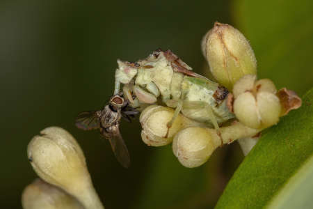 Adult Ambush Bug of the Subfamily Phymatinae on cinnamon flower buds preying on a Bristle Fly of the Family Tachinidae Stock Photo