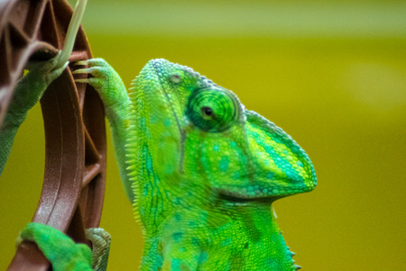 reptiles: lizard   animals  reptile  pets  green reptiles Stock Photo