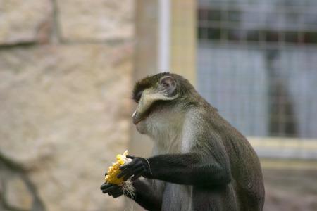 eats: monkey eats