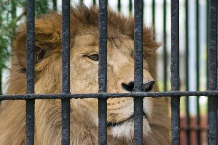 zoogdier: leeuw dier kooi ongetemde zoogdier