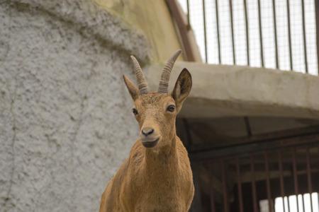 ibex ram: mountain goat