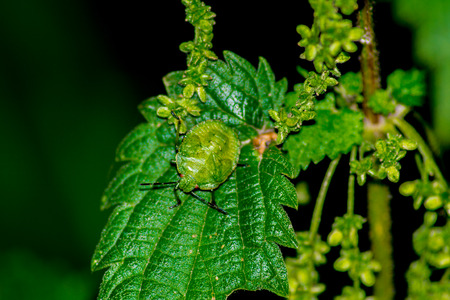 bedbug: green insect on the leaves Stock Photo