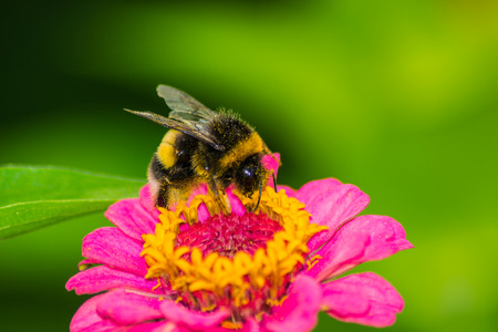 bumblebee: bee  insect pets  animals   insects