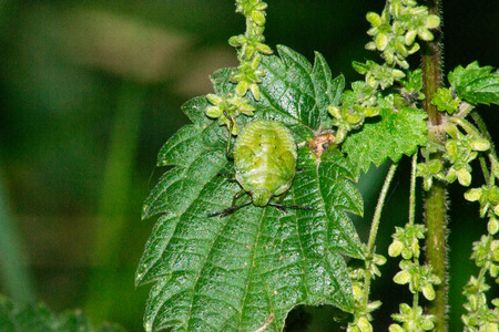 bedbug: bedbug nature isolated Stock Photo