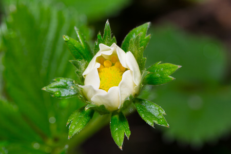 strawberry flower leaf plant,nature berry green white photo