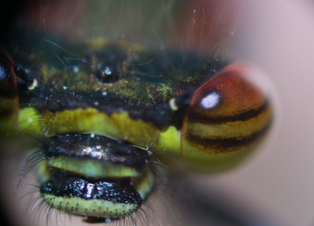 antenna dragonfly: dragonfly eyes closeup on nature bright and colorful Stock Photo
