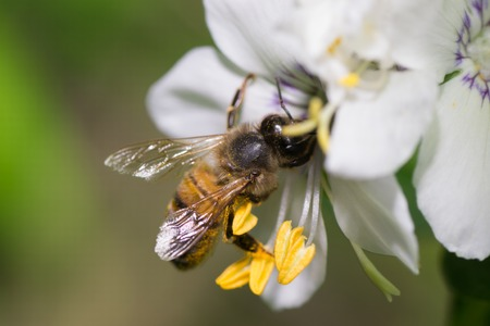 bee flower: animals bee insect animal pets insects macro white
