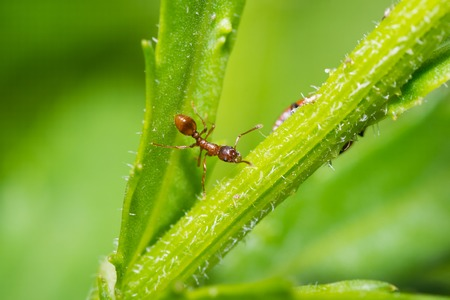 leaf cutter ant: animals ant insect pets insects macro leg color close-up Stock Photo