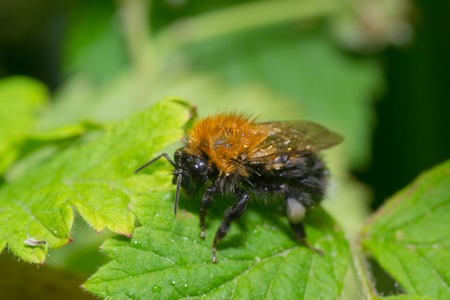 macro animals: insects color bumblebee bee pets animals macro