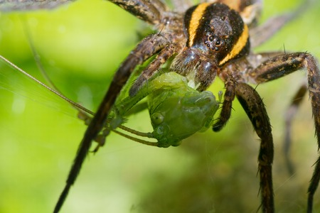 southamerica: spider nature eating insects arachnid web color