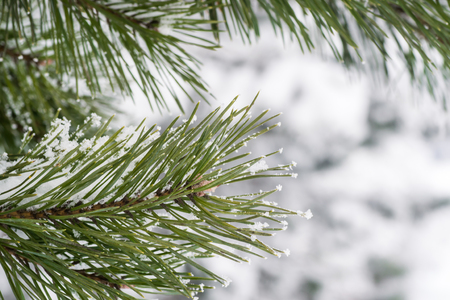 evergreen trees: winter tree christmas snow pine forest background
