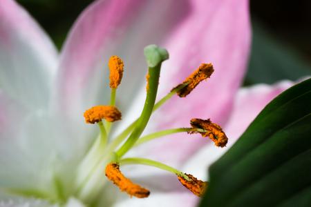 estambre lirio se cierran encima de polen de una flor