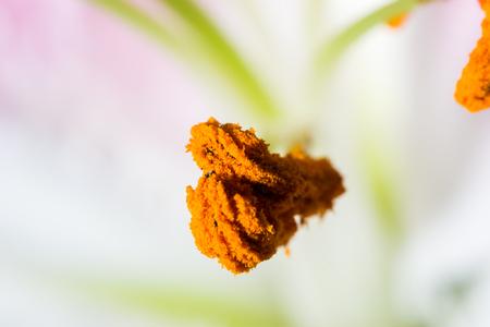 stargazer lily: Lily stamen close up pollen on a flower Stock Photo