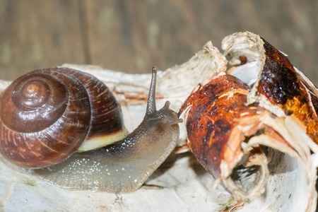burgundy colour: the snail in the background is crawling very slowly