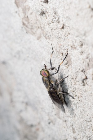 cleg: the gadfly, sitting on the wall waiting for hiding from the heat