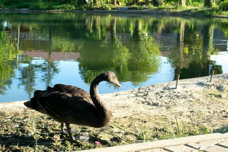 swan bird lake white pond water nature animal animals