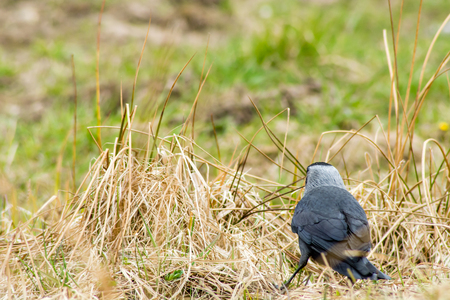 a bird walking on the grass and beak pecks the ground looking for food Stock Photo
