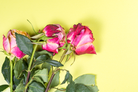rose on the wooden background on holiday gift