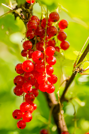 red currants around all summer blooms plant