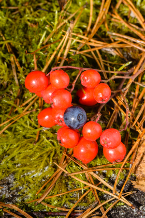 wild berries in the forest, the mountain ash tree