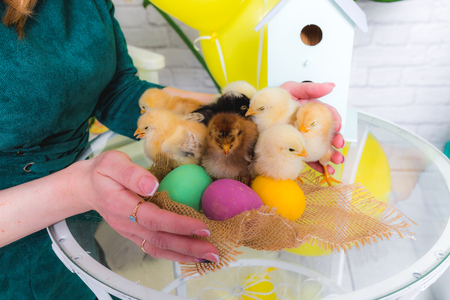 Small chicken in hand on the table and easter eggs Stock Photo